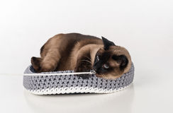 Siamesische Katze, die im handgemachten Korb liegt und mit Seil spielt Gerade schauen Weißer Hintergrund Lizenzfreies Stockfoto