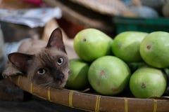 Siamesische Katze, die am lokalen Markt liegt Lizenzfreie Stockfotografie