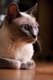 Siamesische Katze, die Nahaufnahme auf hölzernen Fußboden legt Stockbild