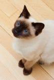 Siamesische Katze, die oben blaue Augen schaut Stockbilder