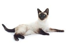Siamesische Katze, die sich hinlegt Stockfotografie