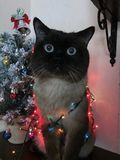 Siamesische Katze eingewickelt in einer Girlande auf dem Hintergrund von Weihnachtsbäumen stockbild