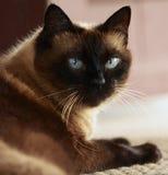 Siamesische Katze mit blauen Augen Stockfotografie