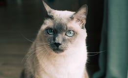 Siamesische Katze mit blauen Augen lizenzfreies stockbild