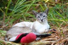 Siamesische Katze mit dem gebrochenen Fahrwerkbein Stockbilder
