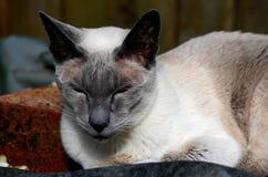 Siamesische Katze steht still und aalt sich im Sonnenlicht Lizenzfreie Stockfotos