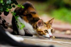 Siamesische Katze in Thailand lizenzfreies stockbild