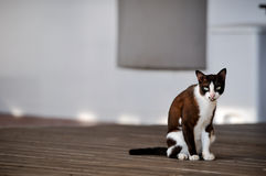 Siamesische Katze in Thailand, sehr nett stockfotos