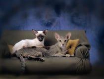 2 siamesische Katzen auf einer Couch Stockfotografie