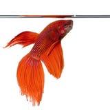Siamesische kämpfende Fische Stockfotografie