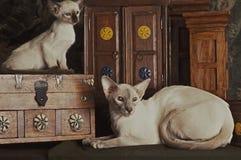 Siamesische Mutter und Kätzchen Lizenzfreies Stockfoto