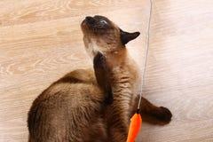 Siamesische oder thailändische Katze spielt mit einem Spielzeug Katze für ungültig erklärtes itching Drei Tatzen, kein Glied stockfotografie