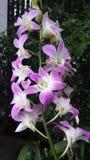 Siamesische Orchidee Lizenzfreies Stockfoto