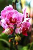 Siamesische Orchidee Stockfoto