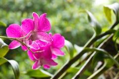 Siamesische Orchidee Lizenzfreie Stockfotografie