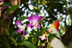 Siamesische Orchidee Lizenzfreies Stockbild