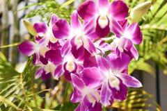 Siamesische Orchideen Stockfoto