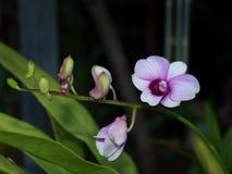 Siamesische purpurrote Blume Stockfoto