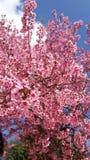 Siamesische Sakura-Blume Stockfotografie