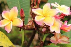Siamesische Tempelblume Lizenzfreies Stockbild