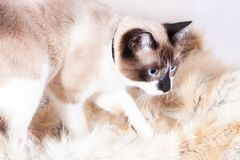 Siamesische thailändische Katze, die auf einer Pelzwolldecke für Haustiere, lokalisiert auf dem weißen Hintergrund sitzt lizenzfreie stockbilder