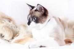 Siamesische thailändische Katze, die auf einer Pelzwolldecke für Haustiere, lokalisiert auf dem weißen Hintergrund sitzt lizenzfreies stockbild