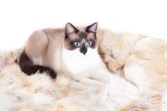 Siamesische thailändische Katze, die auf einer Pelzwolldecke für Haustiere, lokalisiert auf dem weißen Hintergrund sitzt stockbild