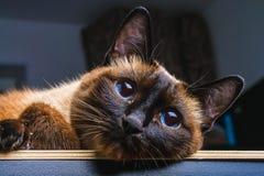 Siamesische thailändische Katze liegt und untersucht die Kamera, im Rahmen, in der Seele Traurigkeit, Melancholie, Einsamkeit lizenzfreie stockfotos