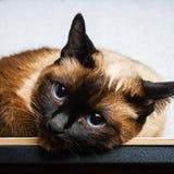 Siamesische thailändische Katze liegt und untersucht die Kamera, im Rahmen, in der Seele Traurigkeit, Melancholie, Einsamkeit stockfoto