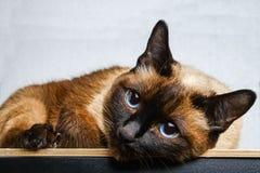 Siamesische thailändische Katze liegt und untersucht die Kamera, im Rahmen, in der Seele Traurigkeit, Melancholie, Einsamkeit lizenzfreies stockbild