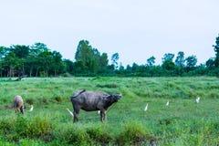 Siamesischer Büffel Stockbild