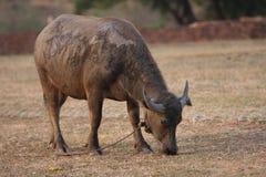 Siamesischer Büffel Lizenzfreies Stockfoto