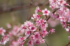 Siamesischer Cherry Blossom Lizenzfreies Stockfoto
