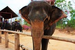 Siamesischer Elefant Stockbilder