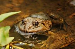 Siamesischer Frosch im Teich Lizenzfreies Stockbild