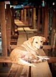 Siamesischer Hund Lizenzfreies Stockfoto