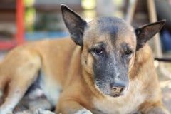 Siamesischer Hund Stockbild