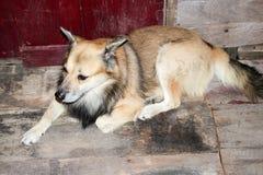 Siamesischer Hund Lizenzfreie Stockfotografie