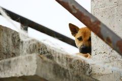 Siamesischer Hund Lizenzfreie Stockfotos
