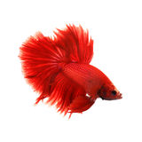 K mpfender reiner roter langer schwanz fische thailands for Siamesischer kampffisch
