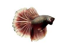 Rote siamesische k mpfende fische betta fische stockfoto for Siamesischer kampffisch