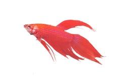 Siamesischer Kampffisch  Lizenzfreie Stockbilder