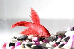 Siamesischer Kampffisch Stockfotografie