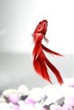 Siamesischer Kampffisch Lizenzfreie Stockfotos
