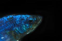 Siamesischer Kampffisch, betta Fisch im Schwarzen Stockfotos