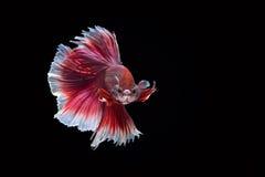 Siamesischer Kampffisch, Rubin-weiß, betta Fisch auf schwarzem backgroun Lizenzfreie Stockbilder
