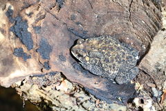 Siamesischer Krötenfrosch versteckt sich lizenzfreie stockfotografie