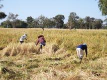 Siamesischer Landwirt, der Reis erntet Stockfotos