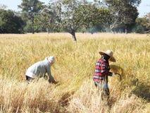Siamesischer Landwirt, der Reis erntet Lizenzfreies Stockfoto