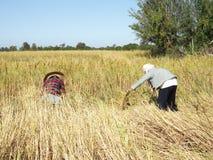 Siamesischer Landwirt, der Reis erntet Stockfotografie